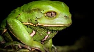 kambo comes from the skin of the waxy monkey tree frog
