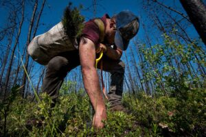 Tree planting in Canada