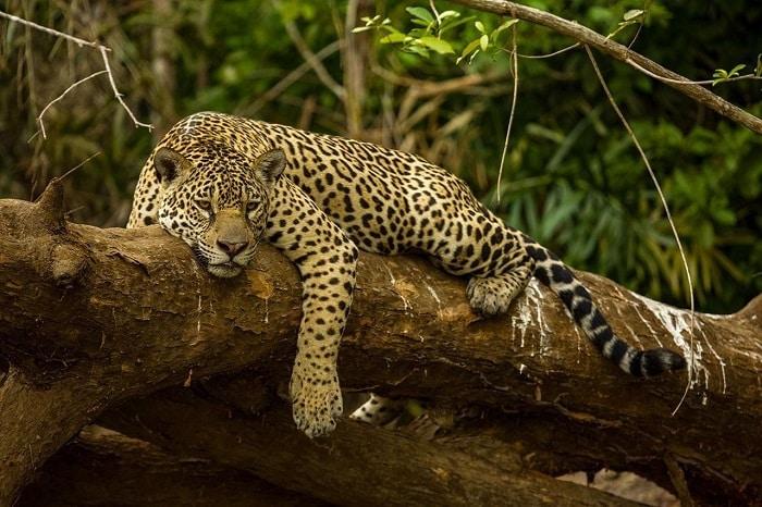 Jaguar resting on the panama colombia border