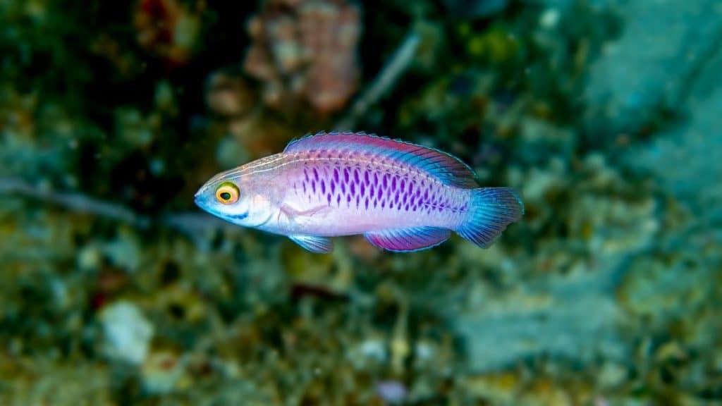 The vibranium fish