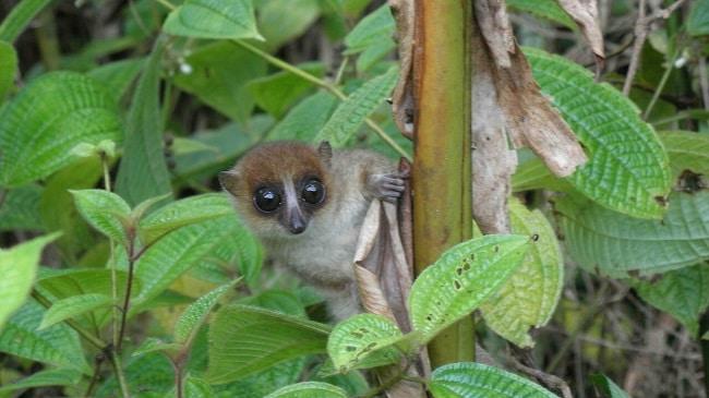 Jonahs Mouse Lemur. Discovered in Madagascar