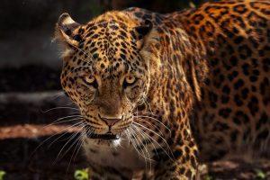Jaguar in Corcovado National Park