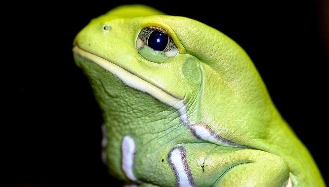 Phyllomedusa bicolor. Waxy monkey tree frog