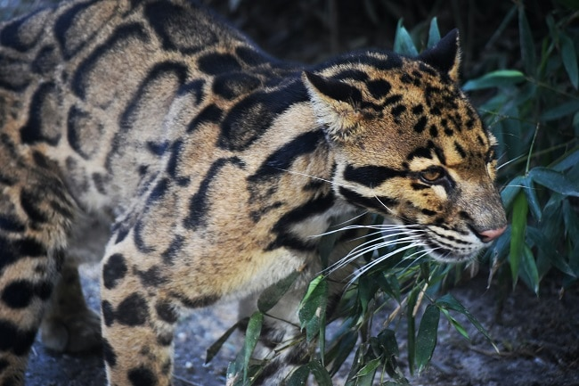 An Ocelot Patroling The Jungle of Corcovado National Park.