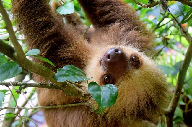 A sloth in Corcovado National Park